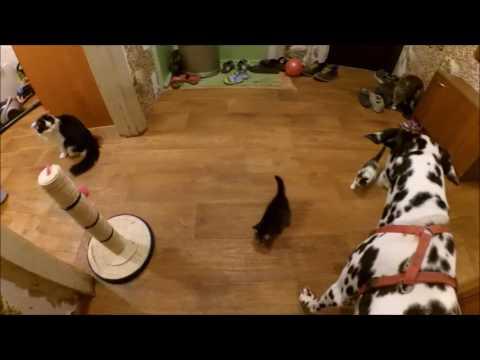 ЗВЕРИНЫЙ VLOG: Первая прогулка котят***СОБАКА-НЯНЬКА