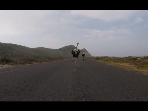自転車レース選手を高速で追いかけるダチョウ!?
