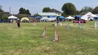 Dog Agility Trials in Ferndale
