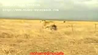اسد يهرب خوفا من خنزير