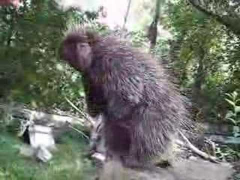 Porcupine's gonna jump! Video
