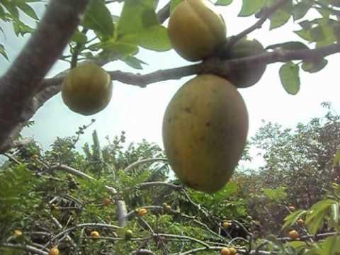 El arbol de ciruelas que dio mangos parte iv youtube for Arbol ciruelo de jardin
