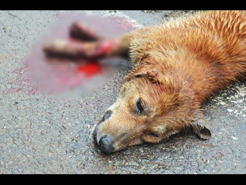 Dog ran over by vehicle in Shimla thrash about on roadside for hours, eventually dies