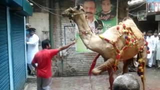 Camel Qurbani 2017