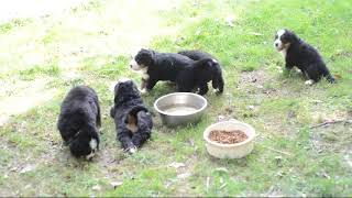 Bernese Mountain Dog Puppies For Sale Lois Allison