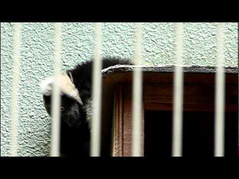 エリマキキツネザルの赤ちゃん。Baby Black and White Ruffed Lemur.#02