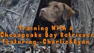 Chesapeake Bay Retriever Basic Duck Hunting Dog Training Session