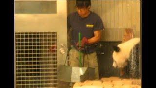 Download Lagu 上野パンダファミリーと3人の男性飼育員さん 2018.07.14 ABC Panda Movies Gratis STAFABAND