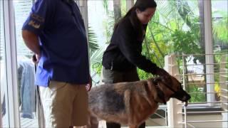 Aggressive german shepherd intimidates owner