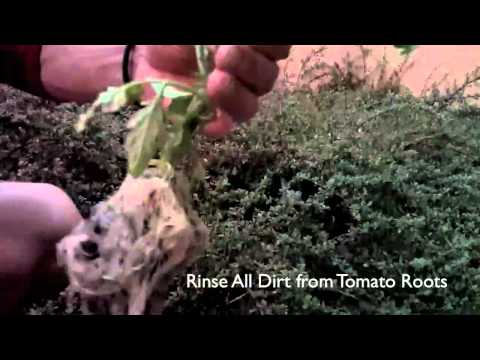 Hydroponic Tomatoes Made Easy