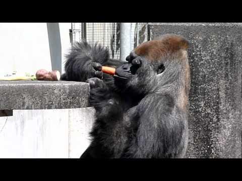 浜松市動物園のゴリラのショウ君1