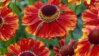 How To Plant Helenium: Jeff Turner Planting Helenium In The Border