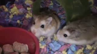 Flipsy and Flopsy our new hamsters Robo dwarf hamsters Funny hamsters video