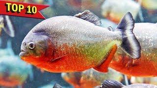 Top 10 Aggressive Aquarium Fish