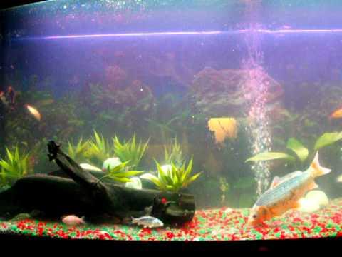 Koi vis aquarium karpers youtube for Koi im aquarium