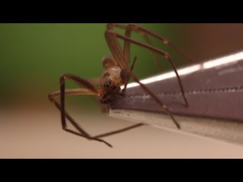 How To Identify And Handle A Brown Recluse - Smarter Every Day 89 video