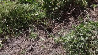 Mr. Dung Beetle Tanzania