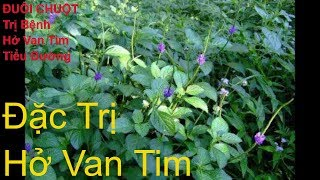 Cây Đuôi Chuột Trị Bệnh Hở Van Tim, Tiểu Đường...