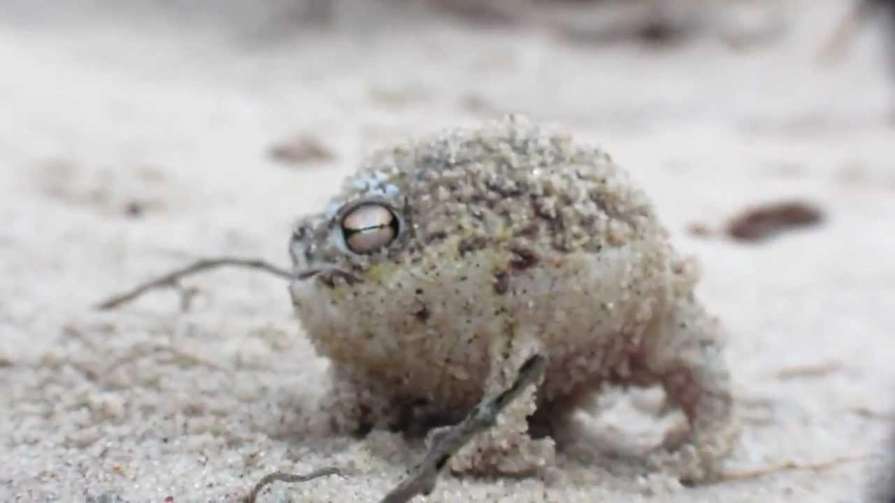 сладкоголосая лягушка
