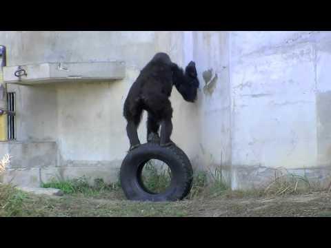 東山動植物園のニシローランドゴリラ~Gorilla that licks wall