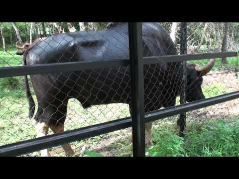 Wild Cattle - Phnom Tamao Zoo - Cambodia