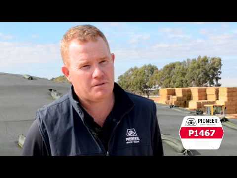 Corn silage ideal for dairy farmers in northern Victoria