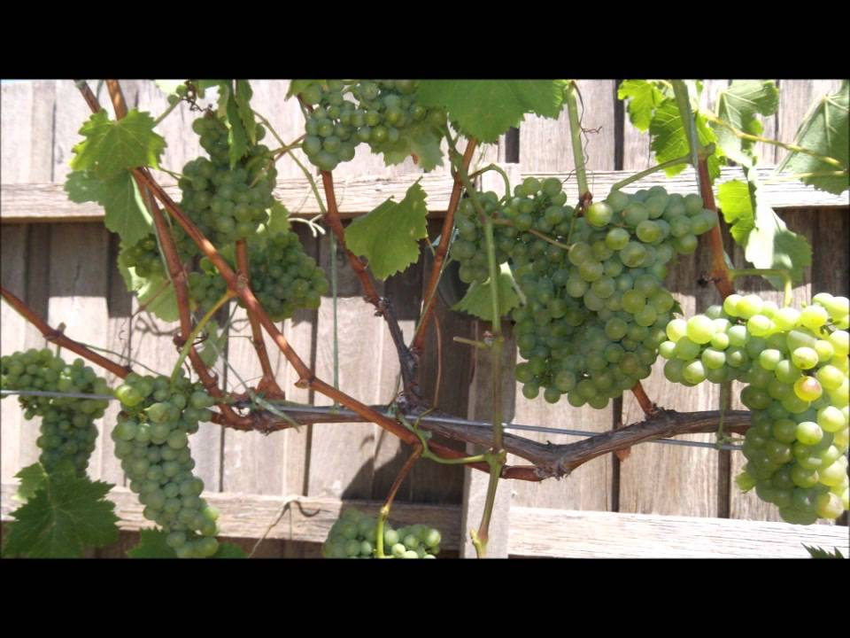 Training Grape Vines From Beginning To Canopy Pt6 Youtube