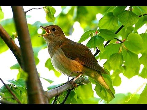 упругие бедра утренние голоса птиц ивсей природы как звездочки