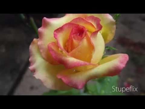 Fotos Caseiras (Flores)