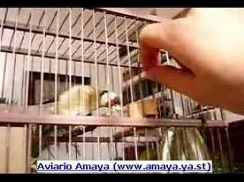 Aviarioamaya - Jilguero 01