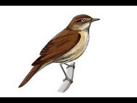 Nightingale Flying Drawing How to Draw a Nightingale Bird