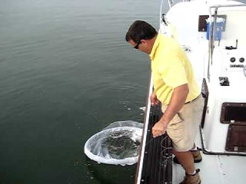 Catching Menhaden with a Cast Net
