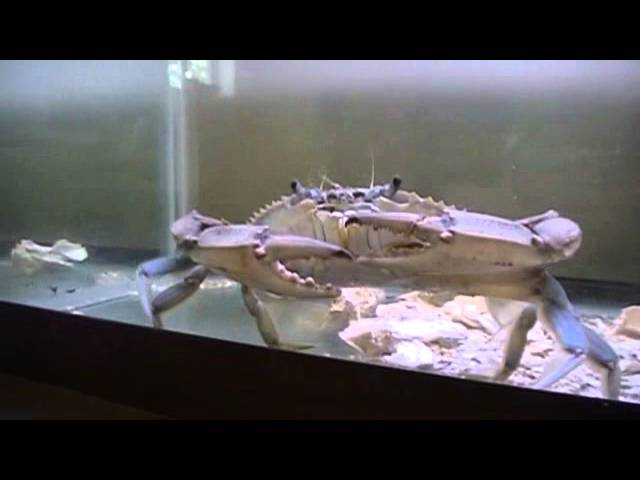 Crab dances for art