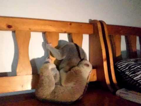 Copulation of slow loris