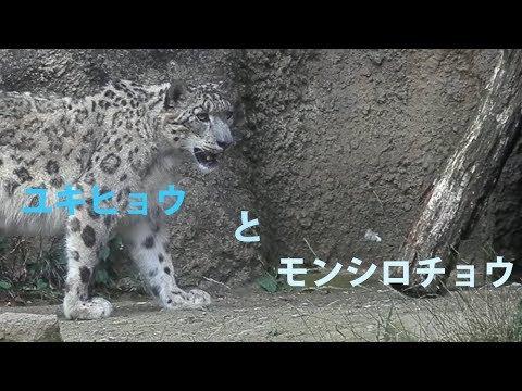 ユキヒョウの画像 p1_5