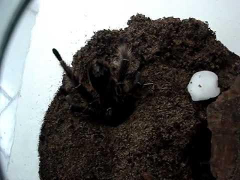Acasalamento de Eupalaestrus sp. (Arachnida - Araneae - Theraphosidae)
