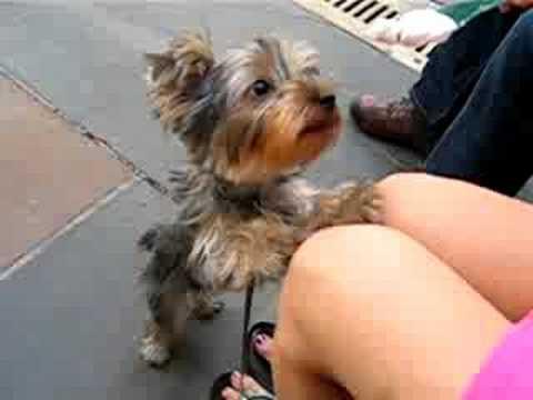 Yorkshire Terrier - 4 ...