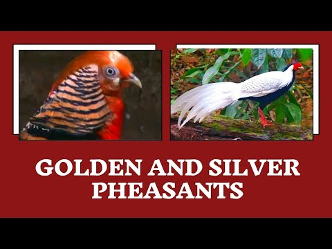 Golden and Silver Pheasants, Palakkad