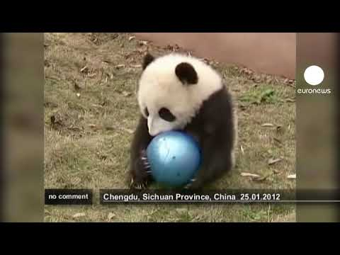 Baby Pandas in China - no comment