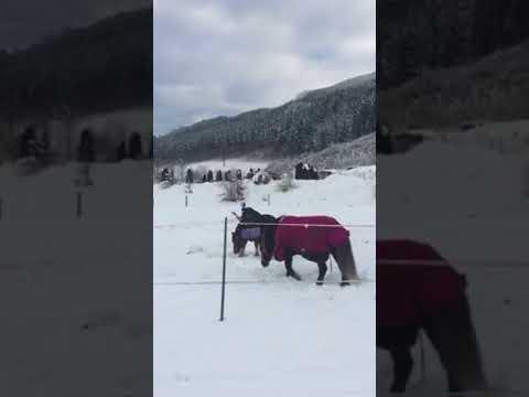 Horses playing in snow in Kaprun, Austria