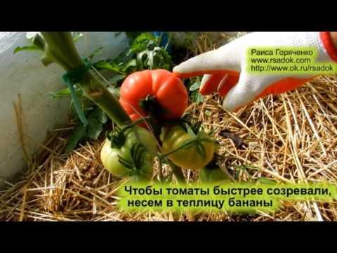 Как сделать чтобы помидоры быстро поспели