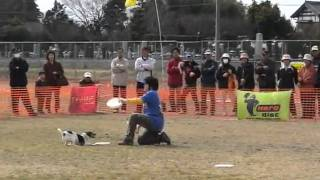 Jack Russell Terrier   Disc Dog Show