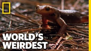 Swallowed Newt Escapes Death | World