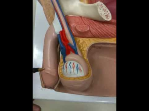 Penis anatomy 132 tk