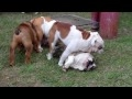 The best dog breed in the world is the English bulldog Video