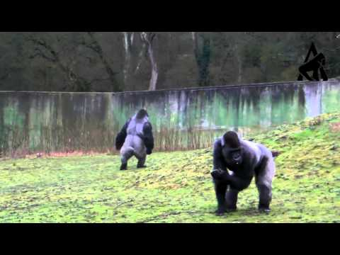 Gorilla Walks Like A Man - Part 2