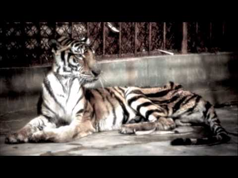 tiger farms edit.mov