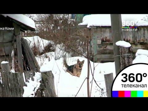В Республике Коми люди оказались беззащитны перед волками