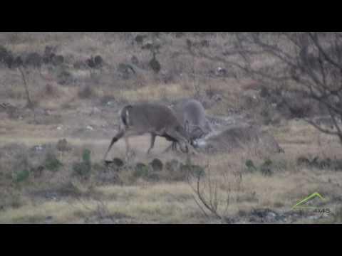 Pics Of Deer Fighting. ULTIMATE BUCK FIGHT X 3