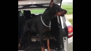 Amazing Doberman in a car truck